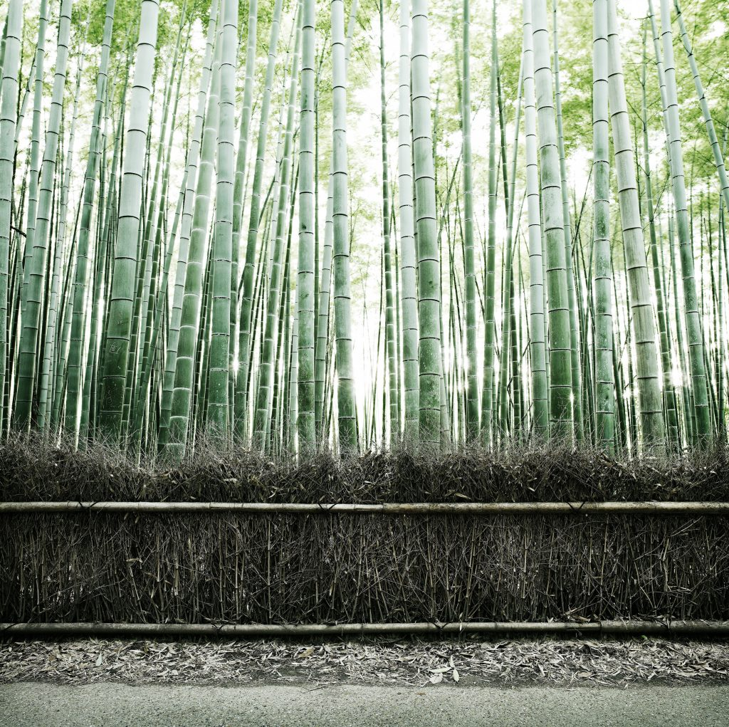 bamboo forest in Kyoto Japan photo by Todd Antony
